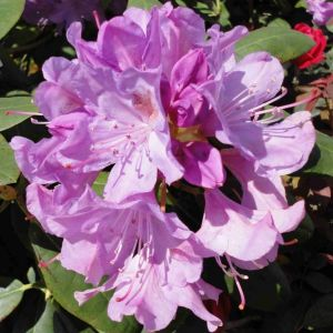 Rhododendron Purple