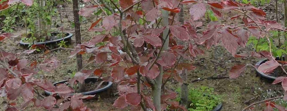 Tricolor Beech leaves up close