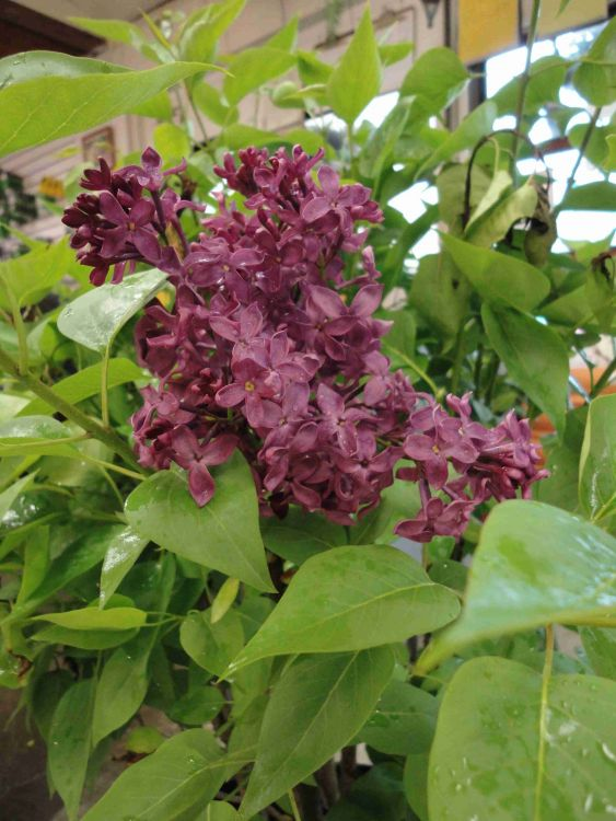 Monge Lilac blooms