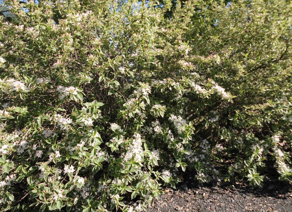 Variegated Weigela grouping