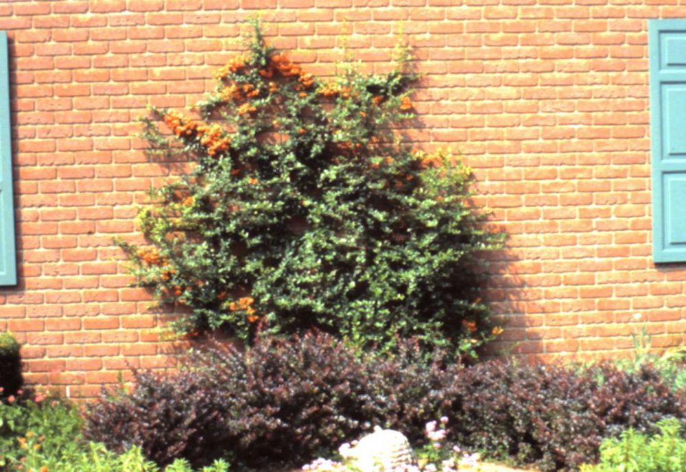 Firethorn Espalier on garage